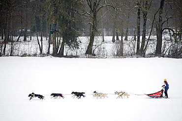 Husky dogs and musher, international dog sled race, La Grande Odyssee Savoie Mont Blanc, Haute-Savoie, France, Europe