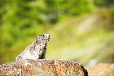 Marmot (Marmota marmota), Zermatt, Valais, Swiss Alps, Switzerland, Europe