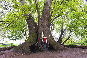 A 2000 year old Platan tree, independent Armenian enclave officially within Azerbaijan, Nagorno-Karabakh, Armenia, Caucasus, Central Asia, Asia