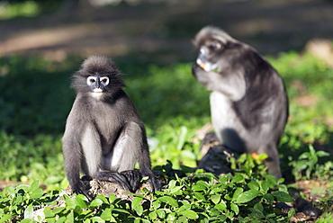 Dusky langur monkey (Trachypithecus obscurus), Prachuap Kiri Khan, Thailand, Southeast Asia, Asia