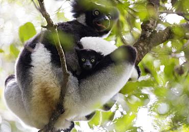 Howling Indri lemur (Indri indri), Analamazaotra Special Reserve, Andasibe, central area, Madagascar, Africa