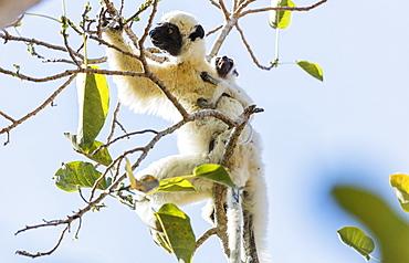 Verreaux's sifaka (Propithecus verreauxi), Tsingy du Bemaraha National Park, western area, Madagascar, Africa
