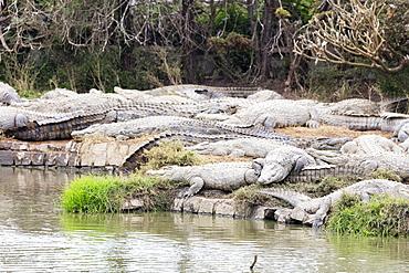 Crocodile Farm, Nile crocodile (Crocodylus niloticus), Antananarivo, Madagascar, Africa