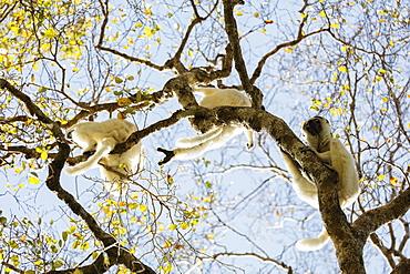 Verreaux's sifaka (Propithecus verreauxi), Zombitse-Vohibasia National Park, southern area, Madagascar, Africa