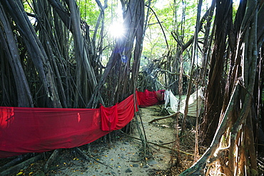 Sacred Banyan tree, Nosy Be Island, northern area, Madagascar, Africa