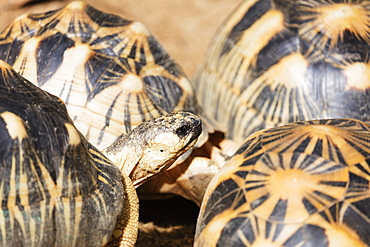 Radiated tortoise, critically endangered in the wild, Ivoloina Zoological Park, Tamatave, Madagascar, Africa