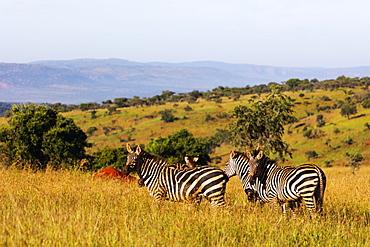 Burchell's Plains zebra (Equus quagga), Akagera National Park, Kigali, Rwanda, Africa
