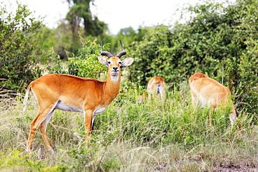 Ugandan Kob (Kobus kob thomasi), Queen Elizabeth National Park, Uganda, Africa