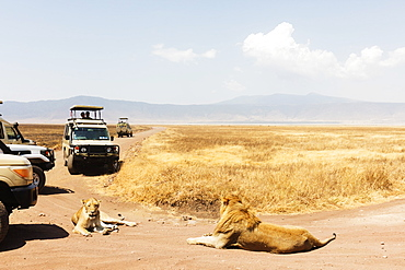 Tourists on a game drive and a lion (Panthera leo), Ngorongoro Crater, UNESCO World Heritage Site, Tanzania, East Africa, Africa