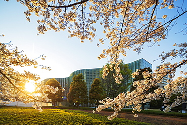 Spring cherry blossoms, The National Art center, Roppongi, Tokyo, Japan, Asia