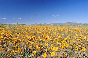 Spring flowers, Springbok, Namaqualand, Northern Cape Province, South Africa
