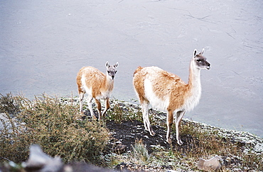 Vicuna mother and young, Torres del Paine, Chile, South America