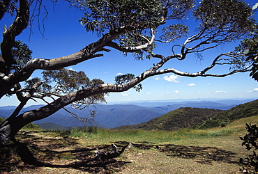 Landscape view of mountains of High Country from Razor Back through snow gum tree, Alpine National Park, High Country, Victoria, Australia, Pacific