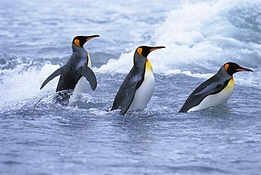 King penguins coming ashore, Fortuna Bay, South Georgia, South Atlantic