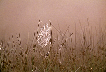 Spiders web covered in dew on autumn morning in September, Kent, England, United Kingdom, Europe