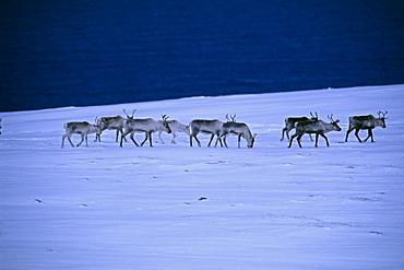 Reindeer (Rangifer tarandus), walking across the frozen tundra, Arctic Norway, Norway, Scandinavia, Europe