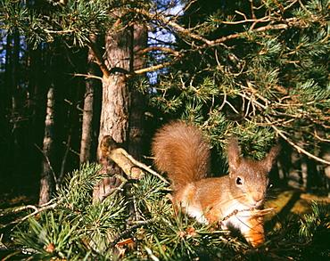 Red squirrel ( Sciurus vulgaris), Cairngorm National Park, Strathspey, Scottish Highlands, Scotland, United Kingdom, Europe
