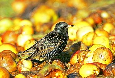 Starling (Sturnus vulgaris), feasting on fallen apples in orchard, Kent, England, United Kingdom, Europe