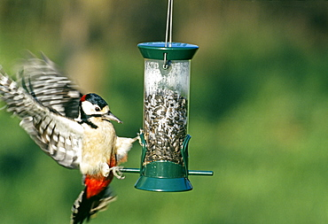 Great spotted woodpecker (Dendrocopos major), on seed feeder in garden, Kent, England, United Kingdom, Europe