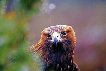 Golden eagle (Aquila chrysaetos), Scotland, United Kingdom, Europe