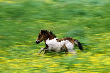 Shetland pony, Unst, Shetland, Scotland, United Kingdom, Europe