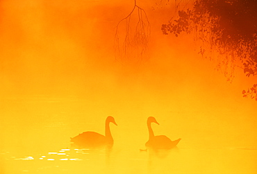 Mute swan (Cygnus olor) in autumn, United Kingdom, Europe