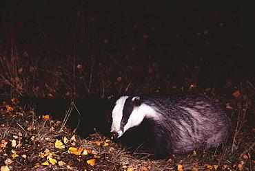 Young female badger (Meles mele) in autumn, Scotland, United Kingdom, Europe