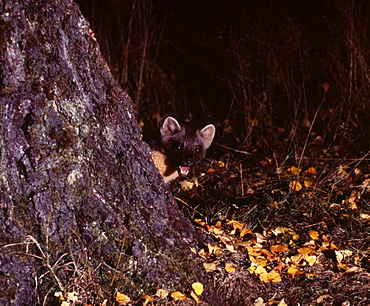 Pine marten (Martes martes) in autumn, Speyside, Scotland, United Kingdom, Europe