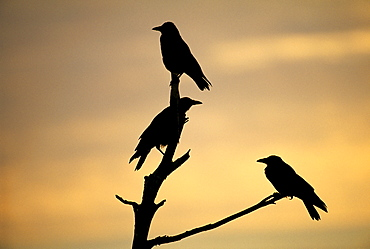 Carrion crows (Corvus corone), silhouetted at dawn, Kent, England, United Kingdom, Europe
