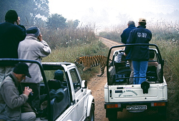 Male Bengal tiger (Panthera tigris), crossing track with tourists looking on, Bandavgarh National Park, Madhya Pradesh, India, Asia