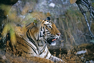 Bengal tiger (Panthera tigris), female, Bandavgarh (Bandhavgarh) National Park, Madhya Pradesh, India, Asia