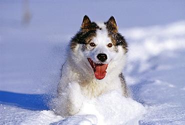 Husky dog, running through snow, Alaska, United States of America, North America