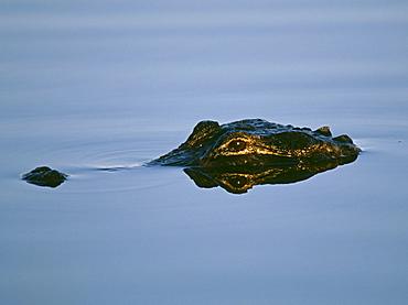 American alligator, Florida Everglades, Florida, United States of America, North America