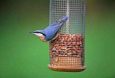 Nuthatch (Sitta europea), on garden nut feeder in winter, Kent, England, United Kingdom, Europe