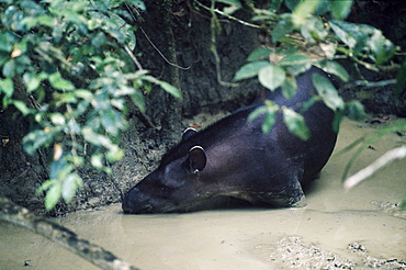 Tapir at clay lick, Manu, Amazonia, Peru, South America