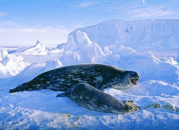 Weddell seal (Leptonychotes weddellii), with pup, on sea ice, Weddell Sea, Antarctica, Polar Regions