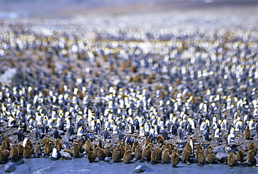 King penguin colony (rookery), South Georgia, South Atlantic