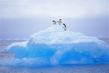 Adelie penguins on iceberg, Paulet Island, Antarctica, Polar Regions