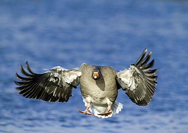 Greylag goose (Anser anser), coming in to land, Caerlaverock, Scotland, United Kingdom, Europe