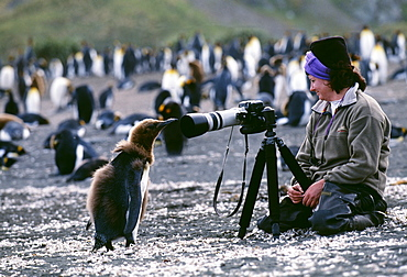 King penguin (Aptenodytes patagonicus), chick looking at tourist, on beach, Gold Harbour, South Georgia, Polar Regions
