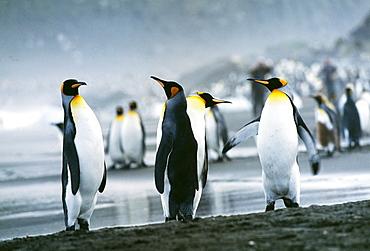 King penguins (Aptenodytes patagonicus), St. Andrews Bay, South Georgia, South America
