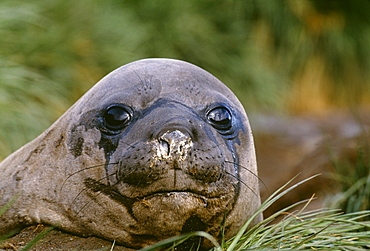 Southern elephant seal (Mirounga leonina), South Georgia, South America