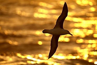 Black-browed albatross (Thalassarche melanophrys) at sunset, Southern Ocean, Antarctica, Polar Regions