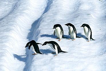 Adult adelie penguins (Pygoscelis adeliae) on iceberg off Paulet Island, Weddell Sea, Antarctica, Polar Regions