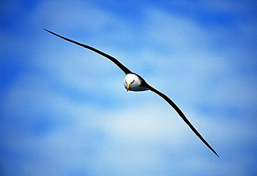 Black-browed albatross (Thalassarche melanophrys) in a blue sky, Southern Ocean, Antarctica, Polar Regions