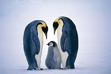 Family of emperor penguins (Aptenodytes forsteri), Weddell Sea, Antarctica, Polar Regions