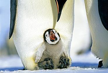 Emperor penguins (Aptenodytes forsteri), chick on parent's feet begging for food, Weddell Sea, Antarctica, Polar Regions