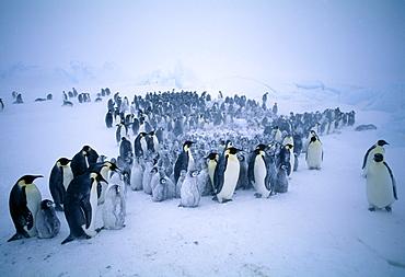 Young emperor penguins (Aptenodytes forsteri) huddling together to form a creche to keep warm, during storm, Dawson Lambton Glacier, Weddell Sea, Antarctica, Polar Regions