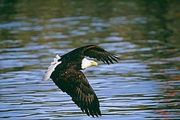 Bald eagle (Haliaetus leucocephalus), Alaska, United States of America, North America