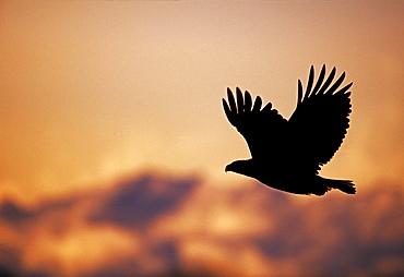 Bald eagle (Haliaetus leucocephalus), Kenai, Alaska, United States of America, North America
